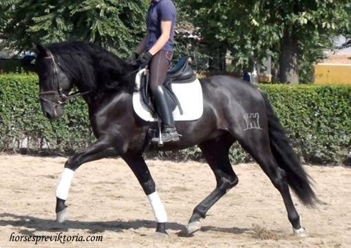 SOLD Talented athletic dressage/stud PRE - Vikinga Sales & Breeding