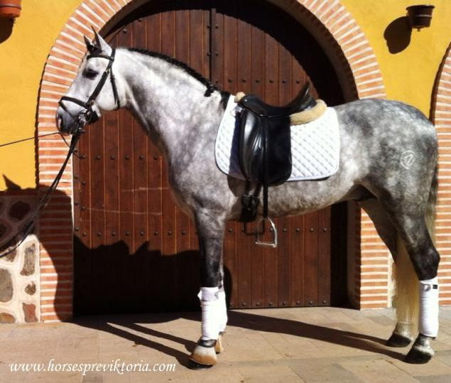 Athletic PRE out of Grand Prix bloodlines - Yeguada Vikinga PRE