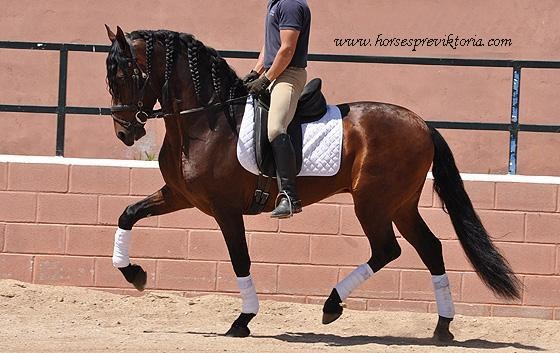 Advanced young talented PRE for toplevels dressage - Yeguada Vikinga PRE