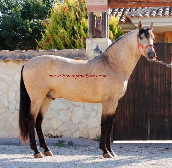 Buckskin PRE - Selected for breeding and dressage - Yeguada Vikinga PRE