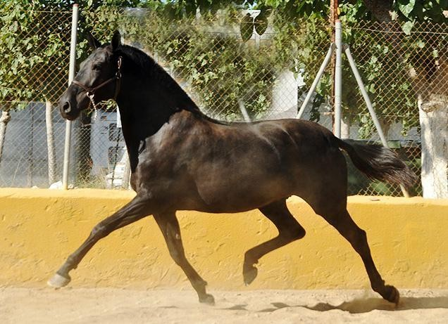 Horses for sale services - BREEDING - Yeguada Vikinga PRE