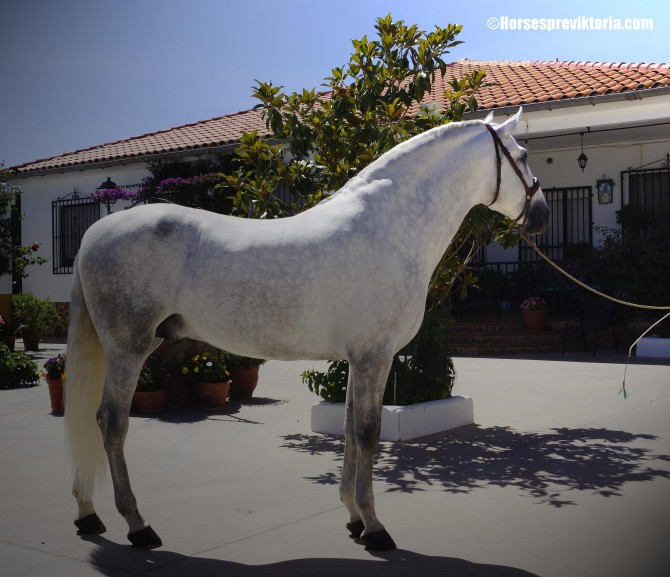 SOLD Top class PRE stud for championships and dressage - Yeguada Vikinga PRE
