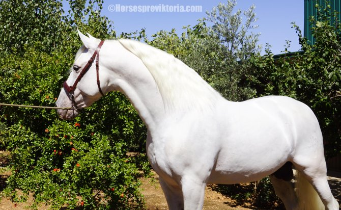 Calificado PRE stud merited at Top level Championships - Yeguada Vikinga PRE