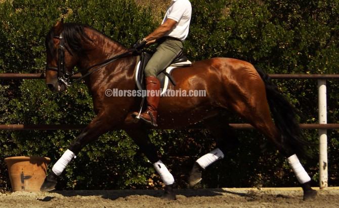 Dressage PRE competed until Prix St George + tempi ones - Yeguada Vikinga PRE
