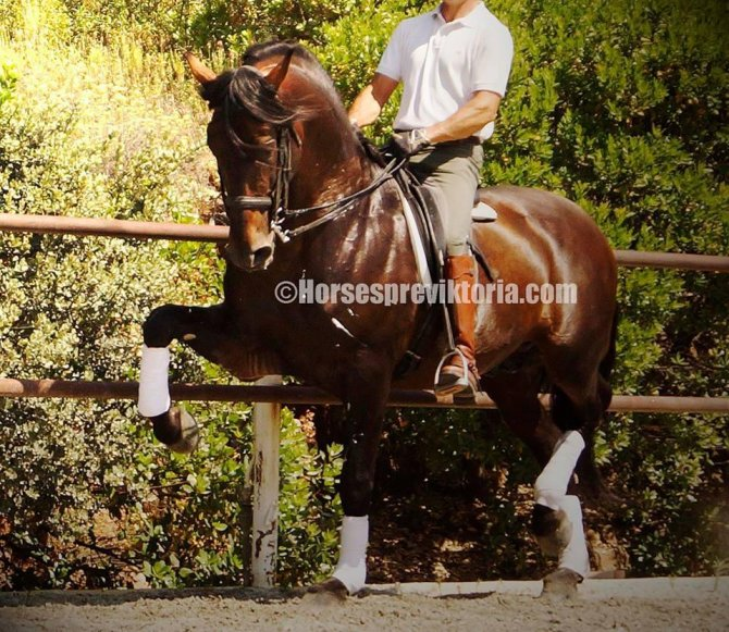 Top class PRE merited from both championships and advanced levels of dressage - Yeguada Vikinga PRE