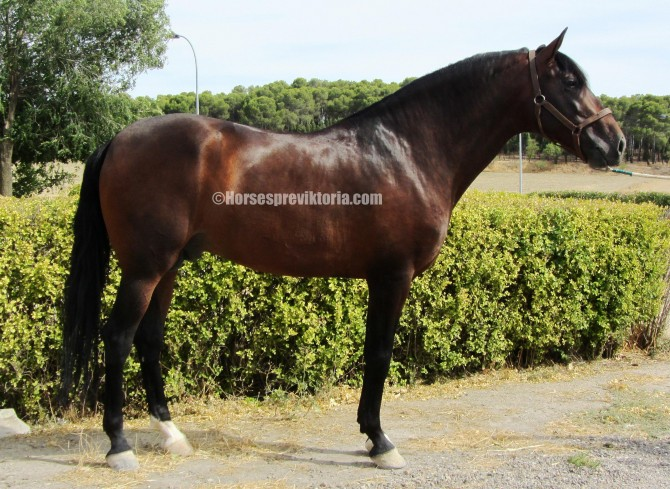 168 cm top class pedigree PRE dressage talent - Yeguada Vikinga PRE