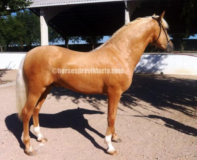 SUC - Palomino PRE for dressage and breeding - Yeguada Vikinga PRE