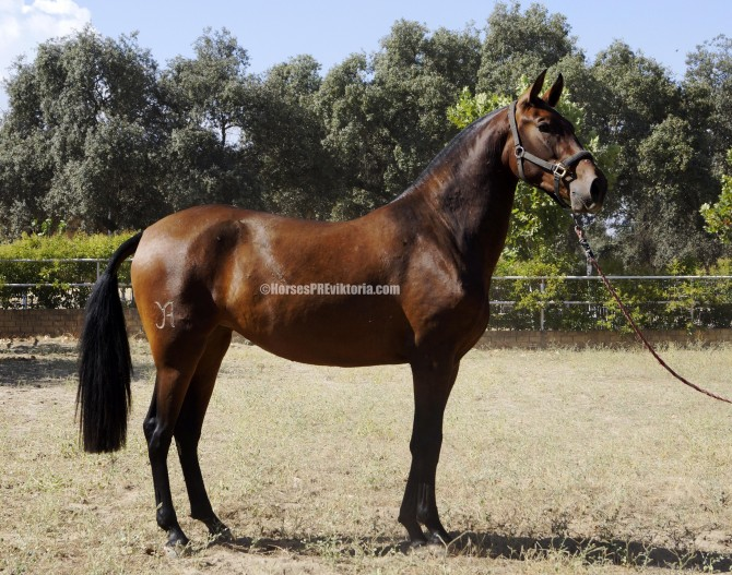 SOLD - Exceptional movements Escalera filly - Yeguada Vikinga PRE