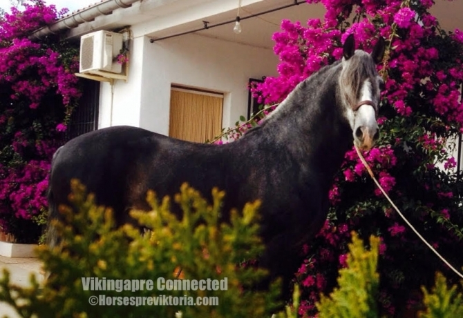 MAN - Athletic PRE for dressage and breeding - Vikinga Sales & Breeding