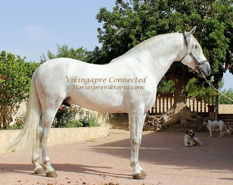 Top class PRE advanced level - Yeguada Vikinga PRE