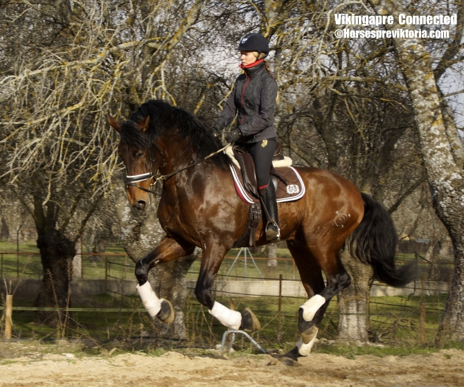 Athletic PRE made for dressage - Yeguada Vikinga PRE